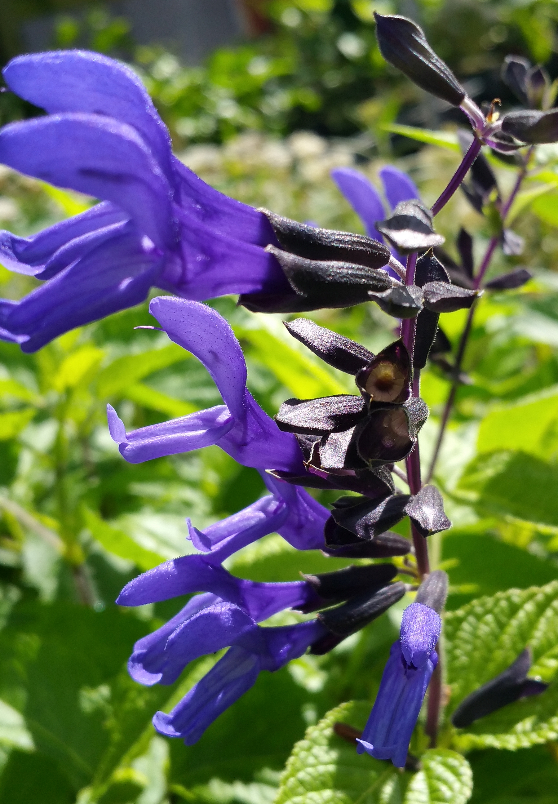 Black and blue salvia sage live perennial plant unusual sapphire black and blue salvia sage live perennial plant unusual sapphire colored flowers attract hummingbirds starter size larger image mightylinksfo
