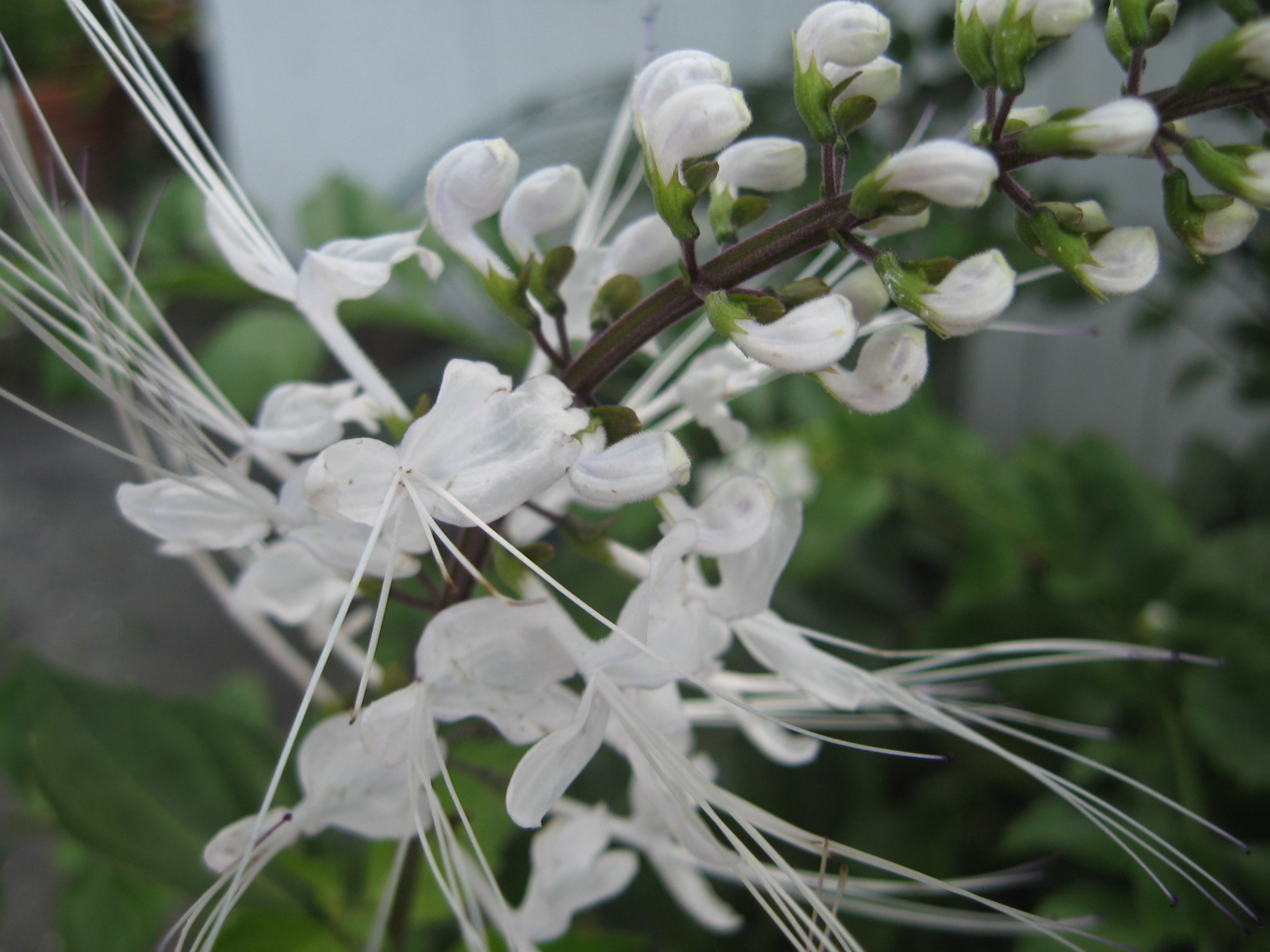 White Cat Whiskers Live Plant Orthosiphon Java Tea Perennial