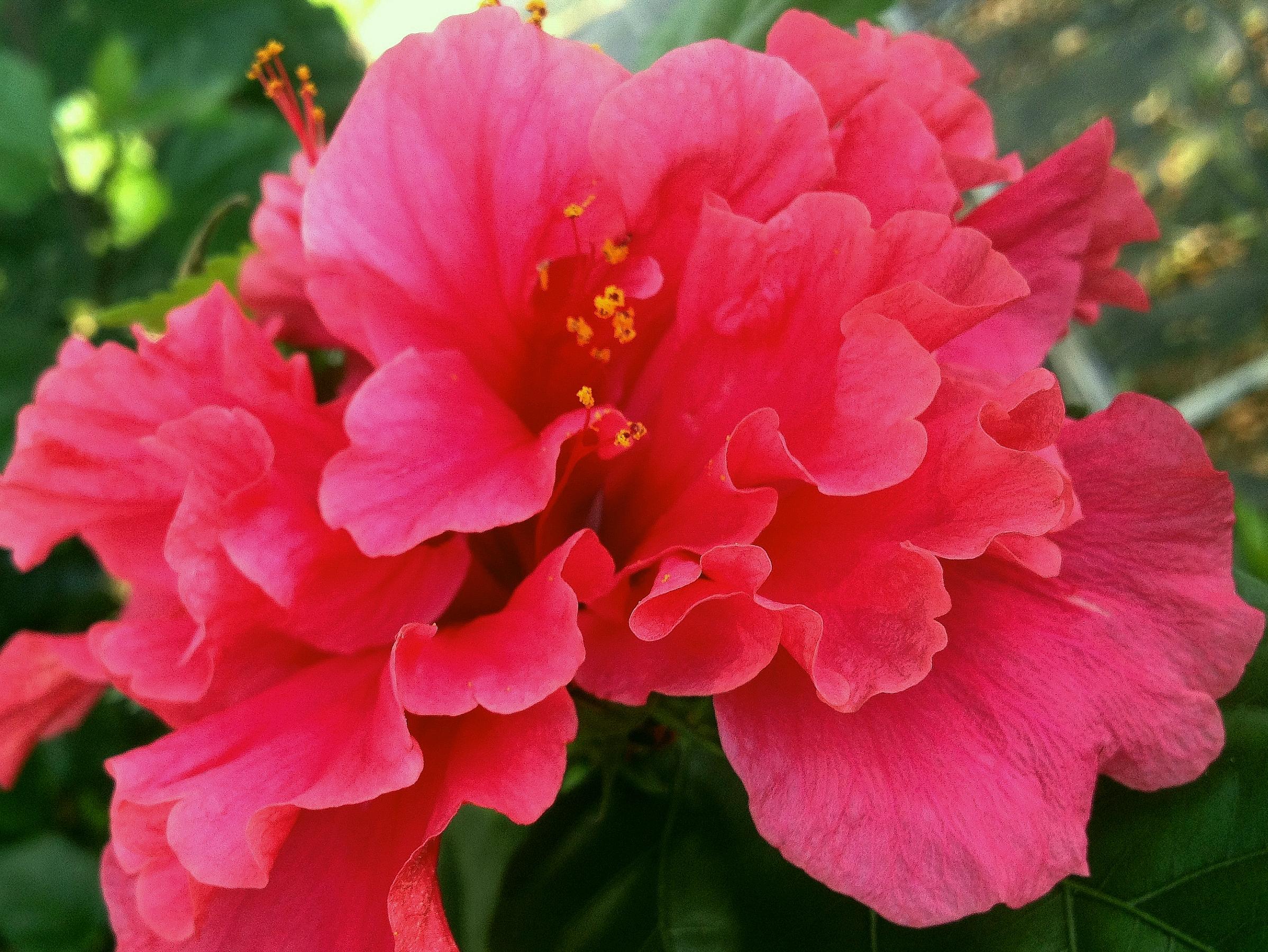 Pride of hankins bush tropical hibiscus plant triple hot fuchsia pride of hankins bush tropical hibiscus plant triple hot fuchsia salmon pink flower emerald goddess gardens larger image mightylinksfo