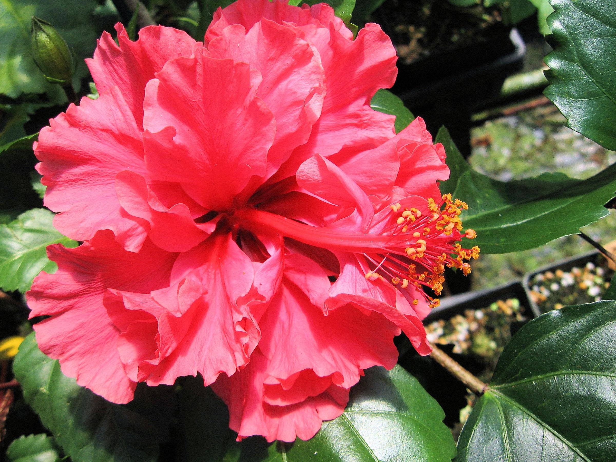Hibiscus-Pride of Hankins-Live Plant- Rosa Sinensis- Red ... |Triple Hibiscus
