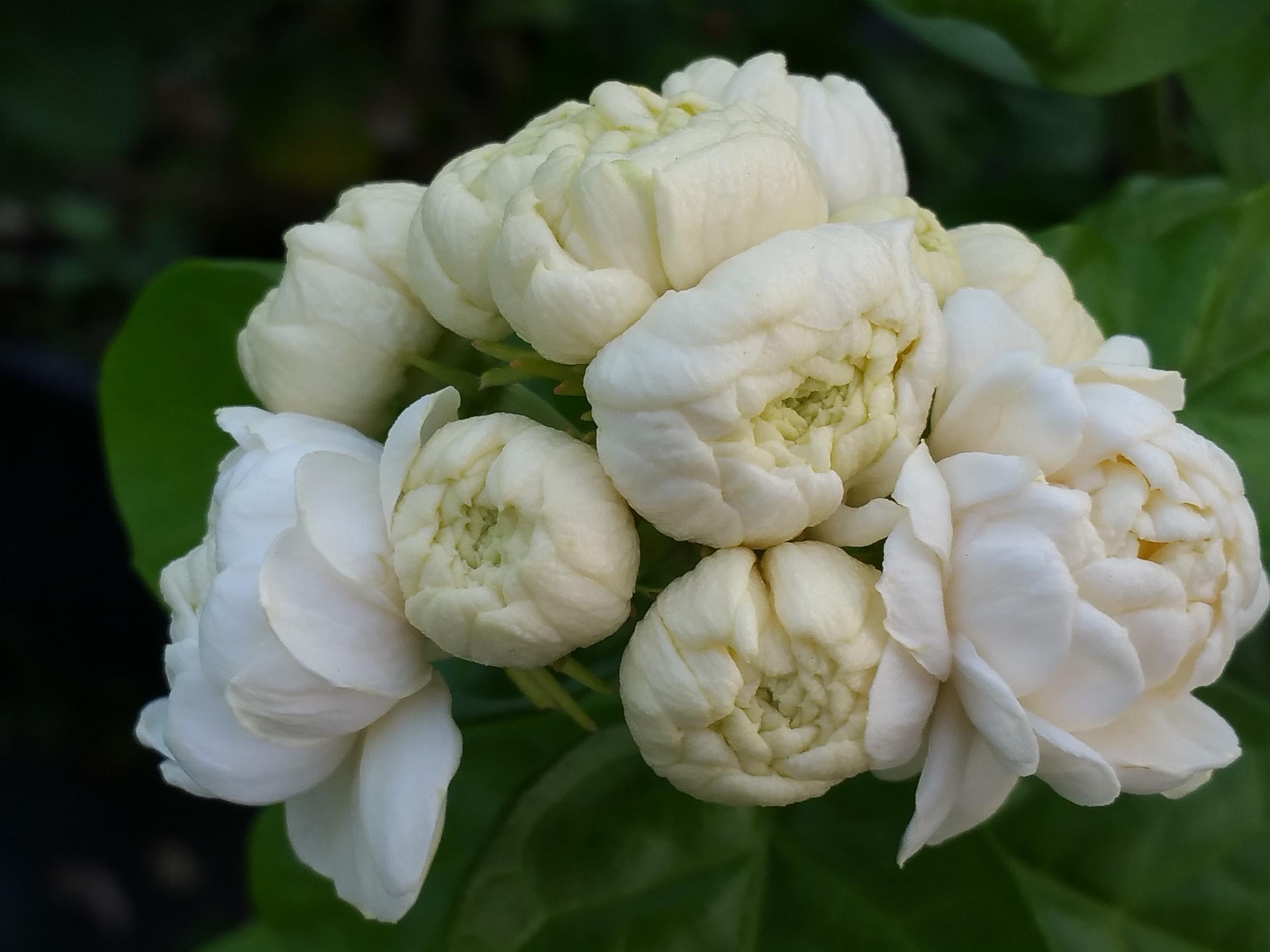 Duke of tuscany arabian sambac tea jasmine live tropical plant duke of tuscany arabian sambac tea jasmine live tropical plant highly fragrant double white flowers starter mightylinksfo