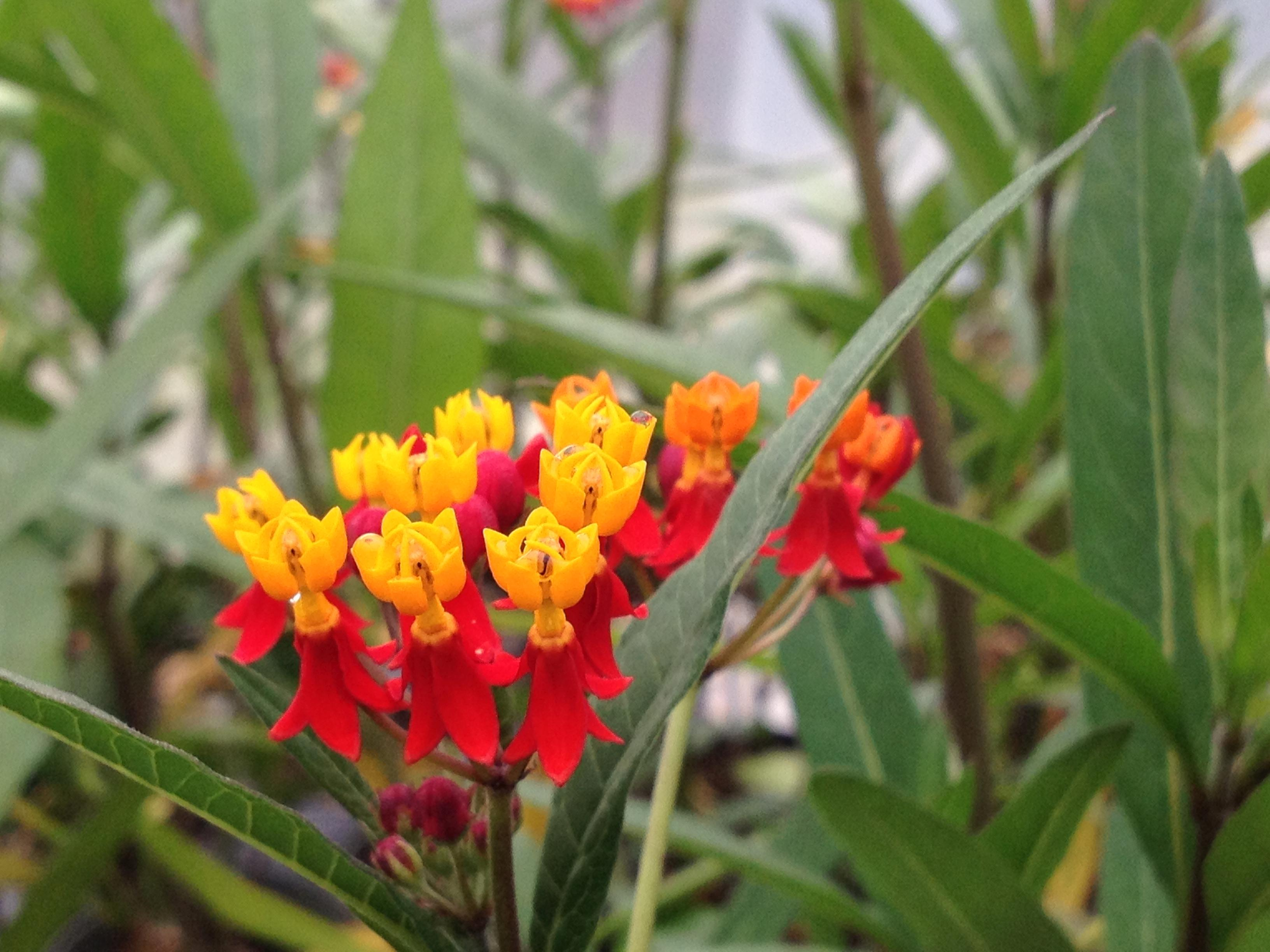 Milkweed Red Tropical Perennial Live Plant Butterfly Garden Attracts