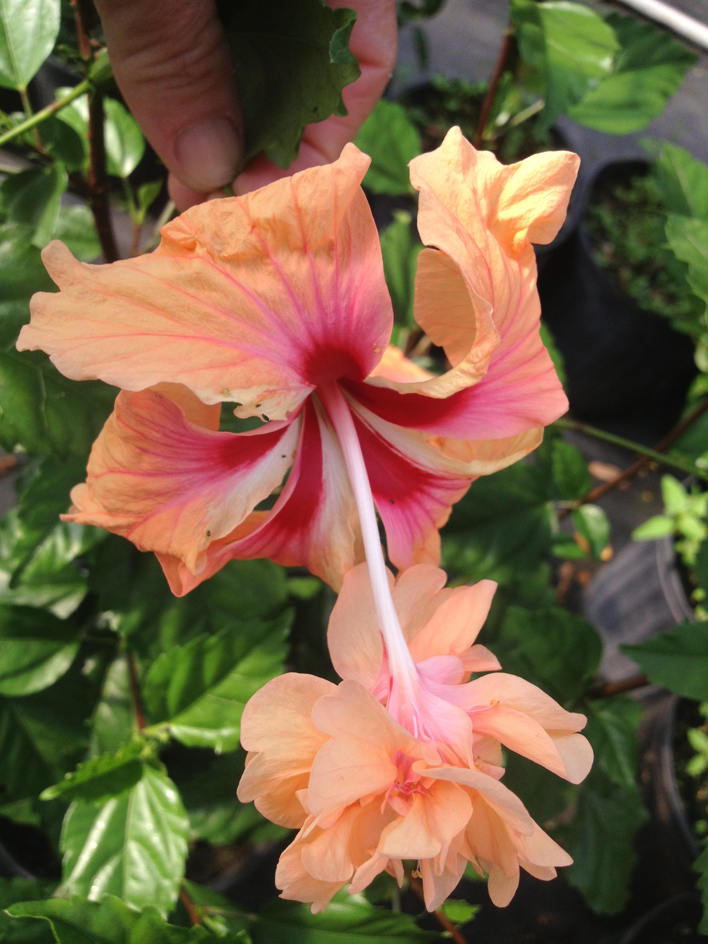 Peach Orange Lions Tail Tropical Hibiscus Live Plant Rare Unusual