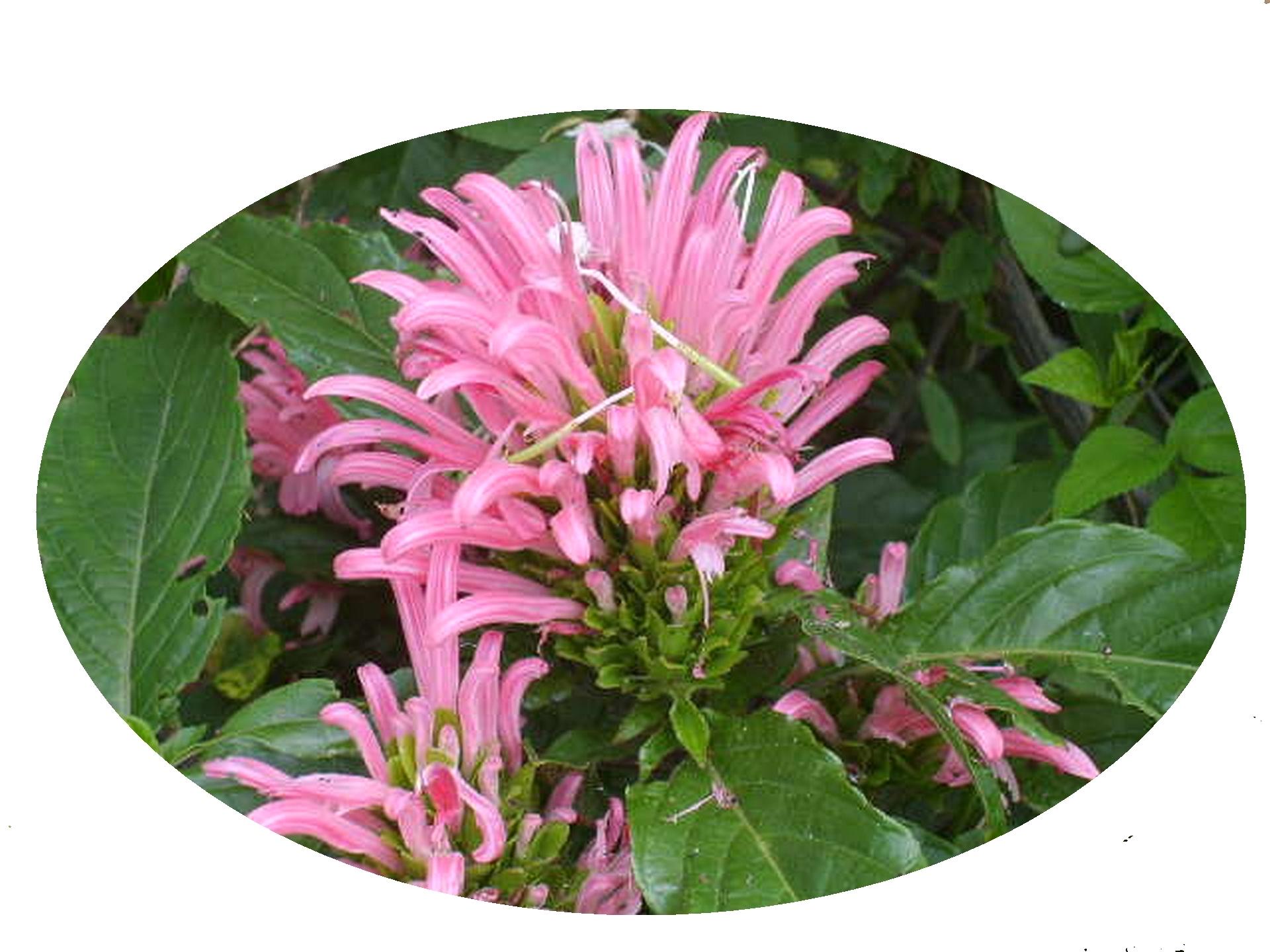 Pink Justicia Brazilian Plume Jacobina Tropical Perennial Plant