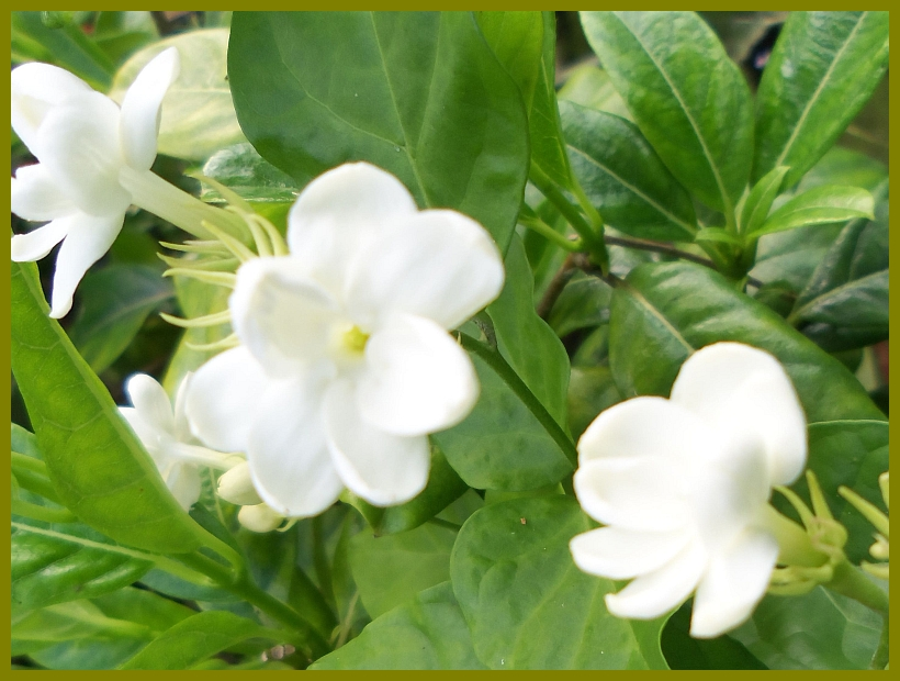 Maid of orleans arabian sambac jasmine live plant fragrant single maid of orleans arabian sambac jasmine live plant fragrant single white flowers starter size 4 inch mightylinksfo