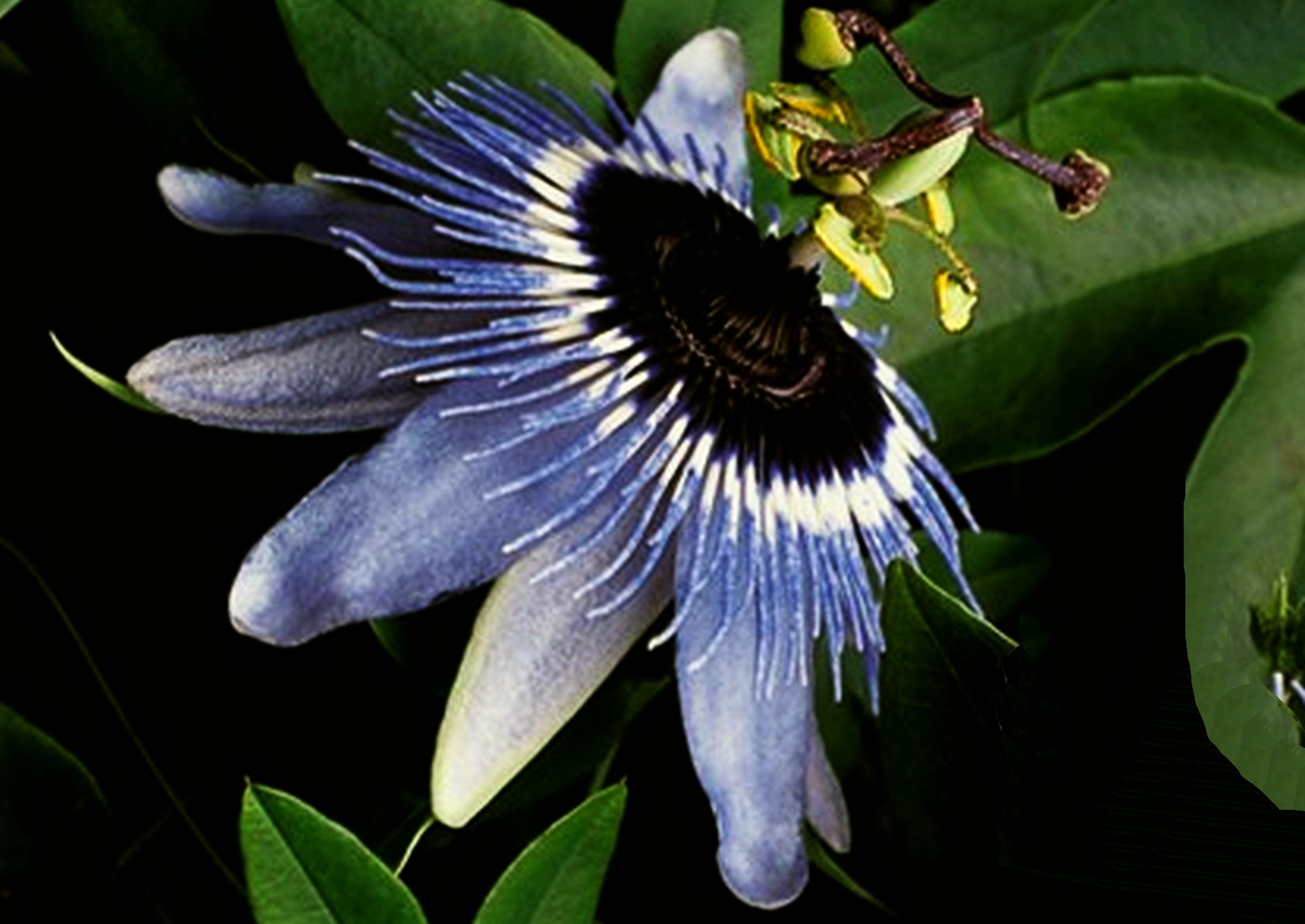 Blue Bouquet Passion Flower Vine Live Plant Passiflora Caerula