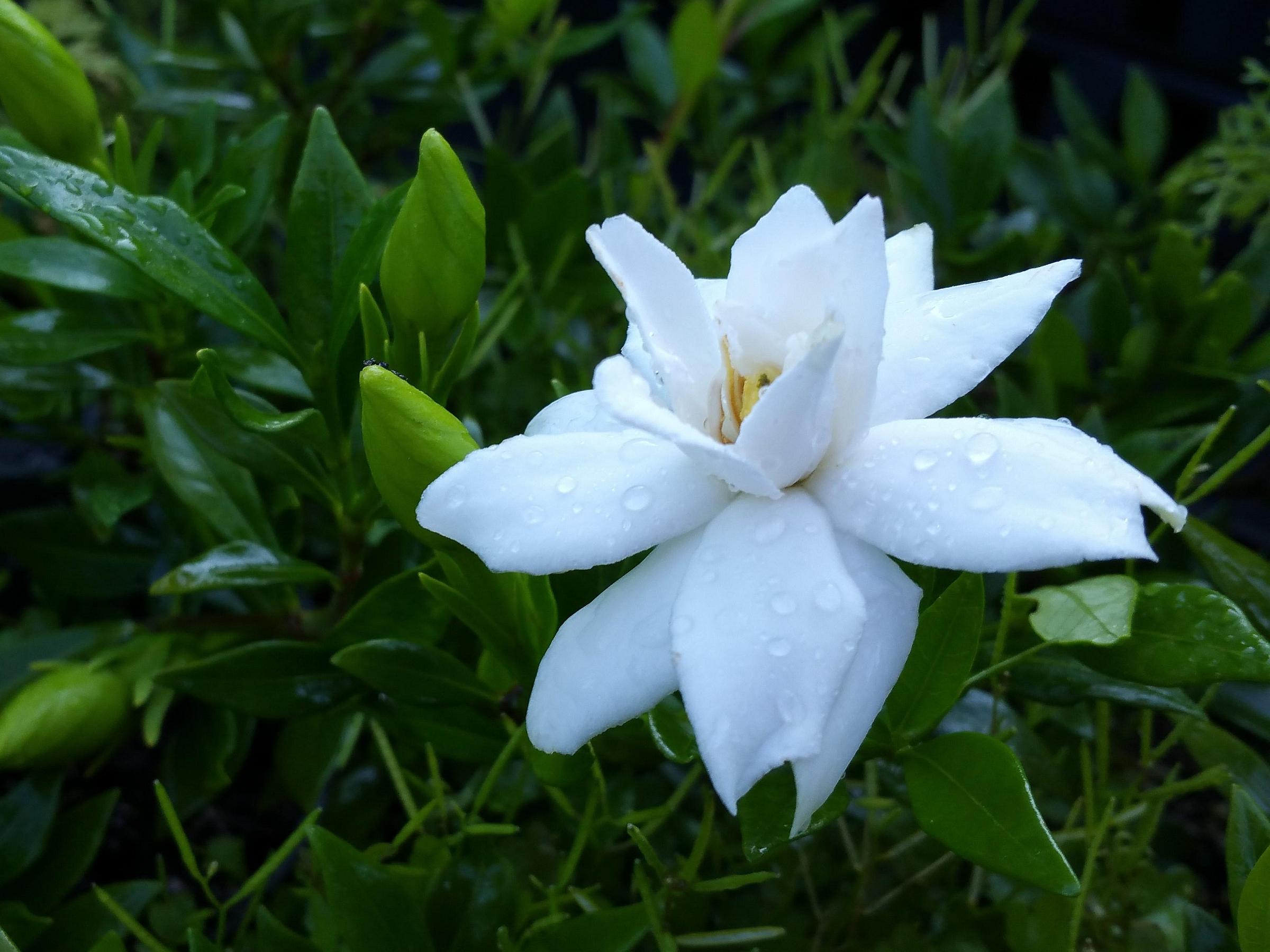 Dwarf Radicans Miniature Gardenia Live Plant Low Grower Fragrant