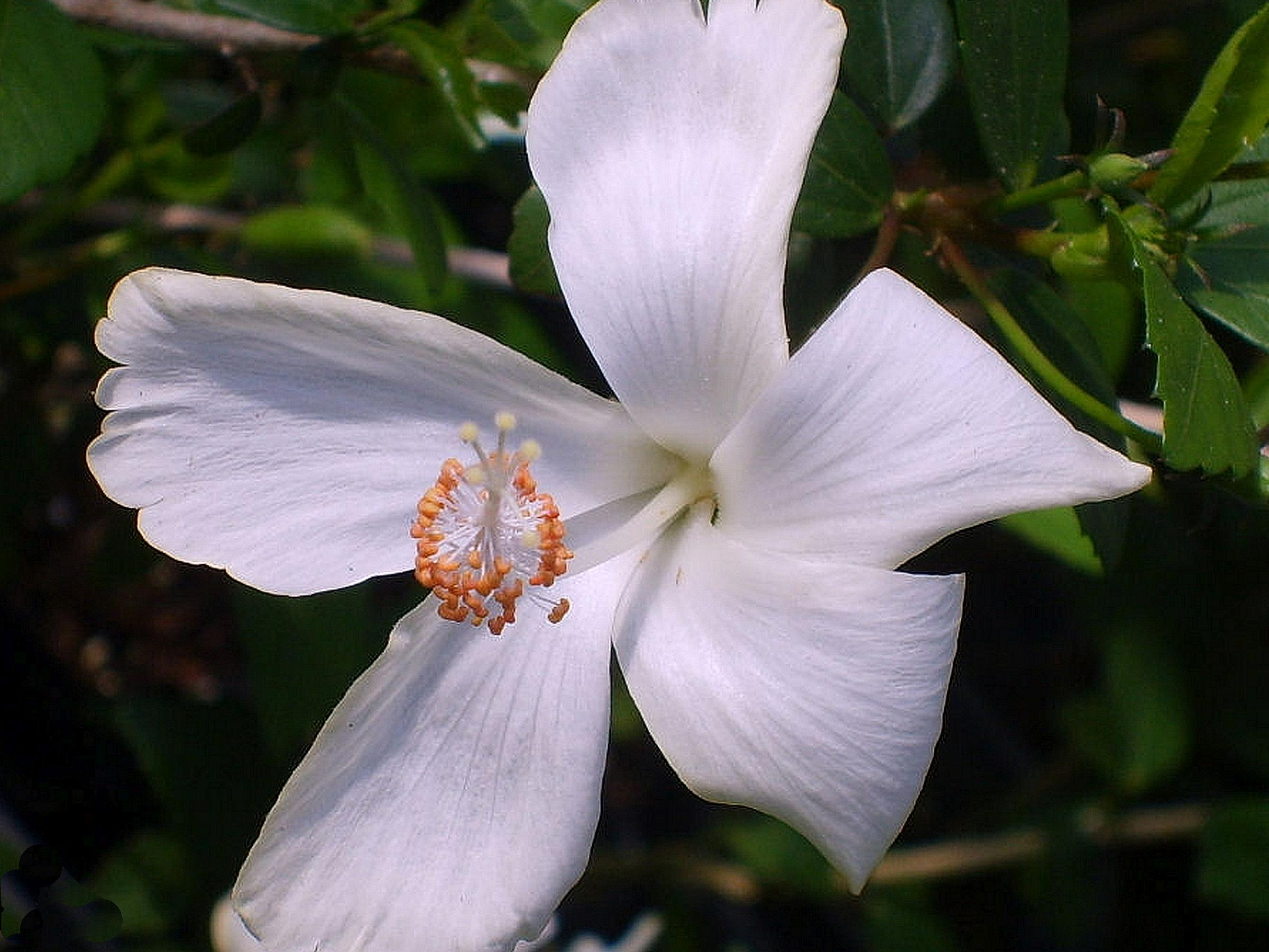 White Dainty Lafrance Tropical Heirloom Hibiscus Tree Plant Pinwheel Single Flower Starter Size 1 4 Inch Pot Emerald Tm
