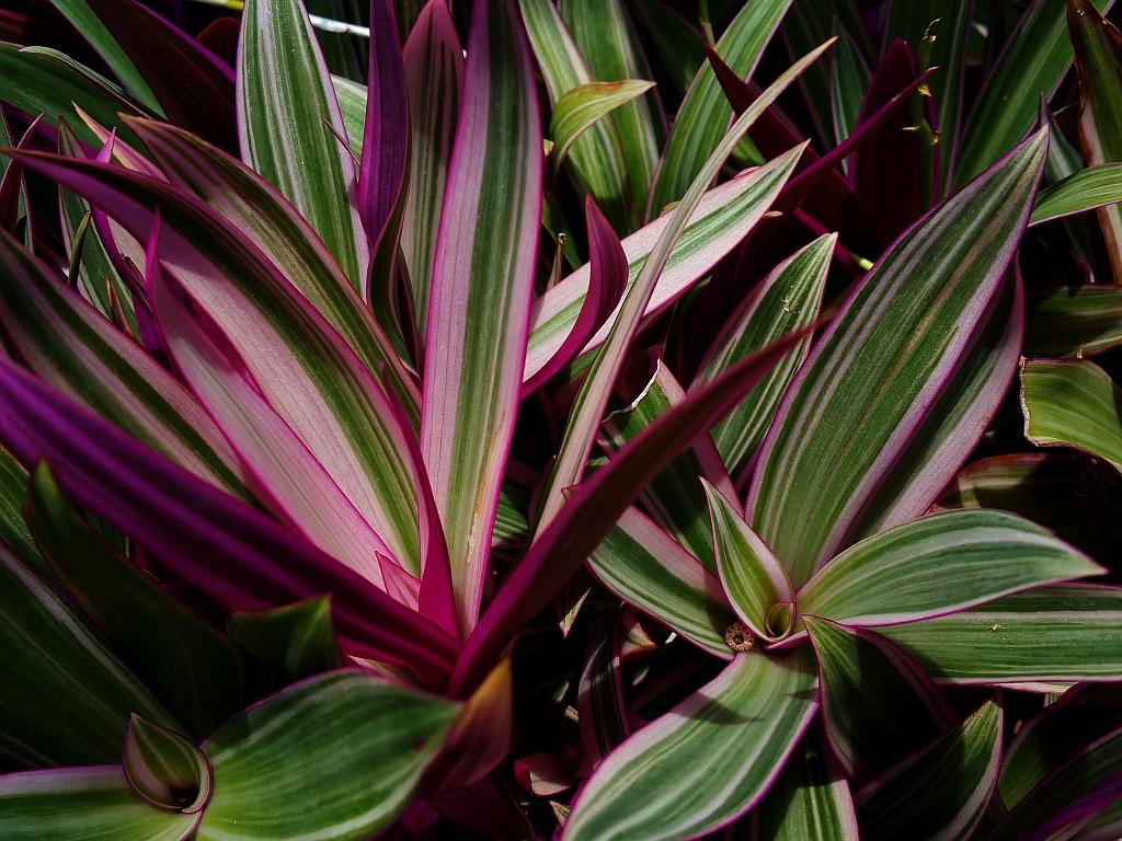 Tricolor Dwarf Oyster Live Tropical Plant Pink White Green Foliage Shade Garden Starter Size 1 4 Inch Pot Emerald Goddess Gardens Tm Emerald Goddess Gardens