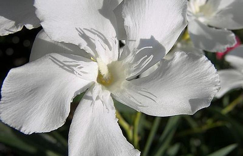 OLEANDER WHITE Semi-Tropical Live Plant Salt Tolerant Flowering Shrub Starter Size 4 Inch Pot Emerald TM
