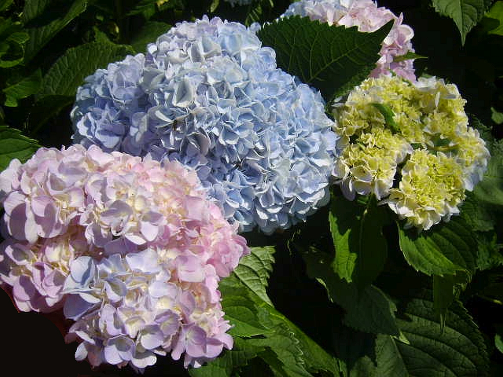 Sea spray hibiscustropical live plant extra large exotic fancy grannys garden tm heirloom southern hydrangea litmus flower plant bush pink or blue from soil ph mightylinksfo