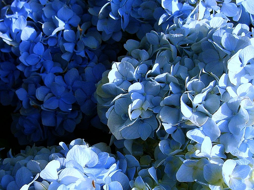 Grannys garden tm heirloom southern hydrangea litmus flower plant grannys garden tm heirloom southern hydrangea litmus flower plant bush pink or blue from soil ph izmirmasajfo