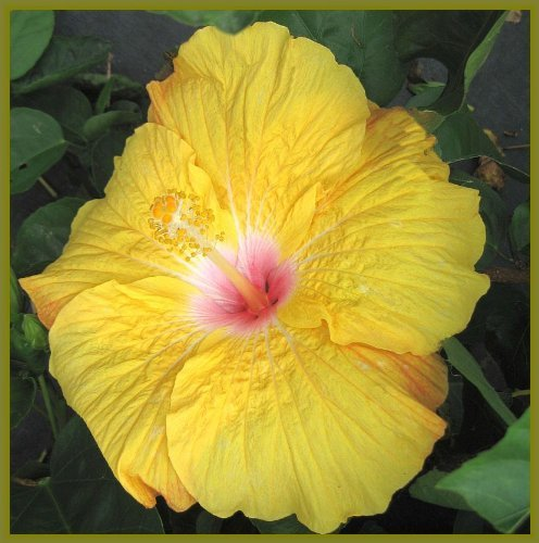 Marilyn Tropical Landscape Hibiscus Live Plant Rare Almost Pure