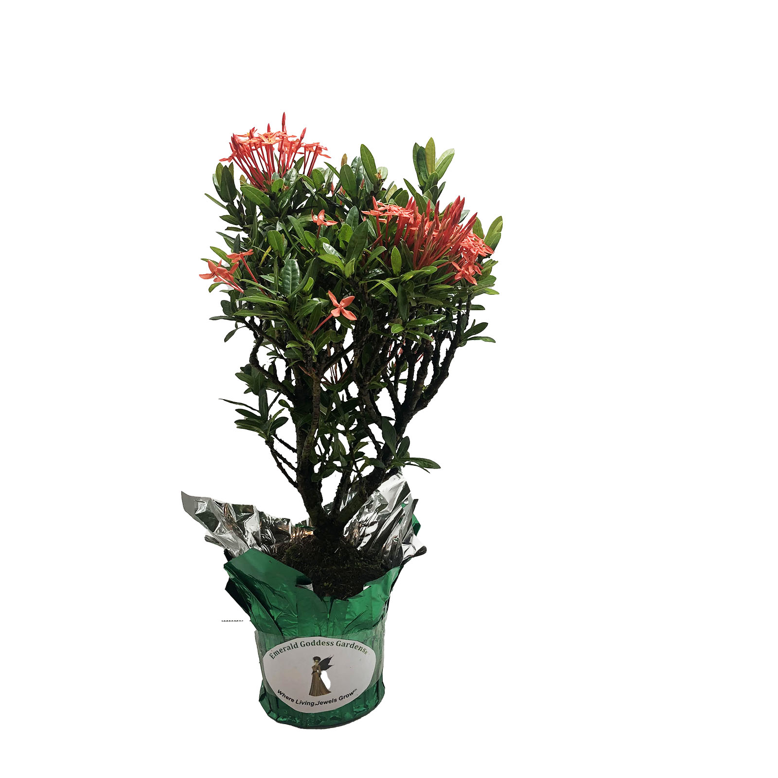 DWARF RED IXORA Large Mature Tropical Live Plant Taiwanensis Orange Tone Scarlet Flower Bonsai Starter Size 4 Inch Pot (1) Emerald R - Click Image to Close