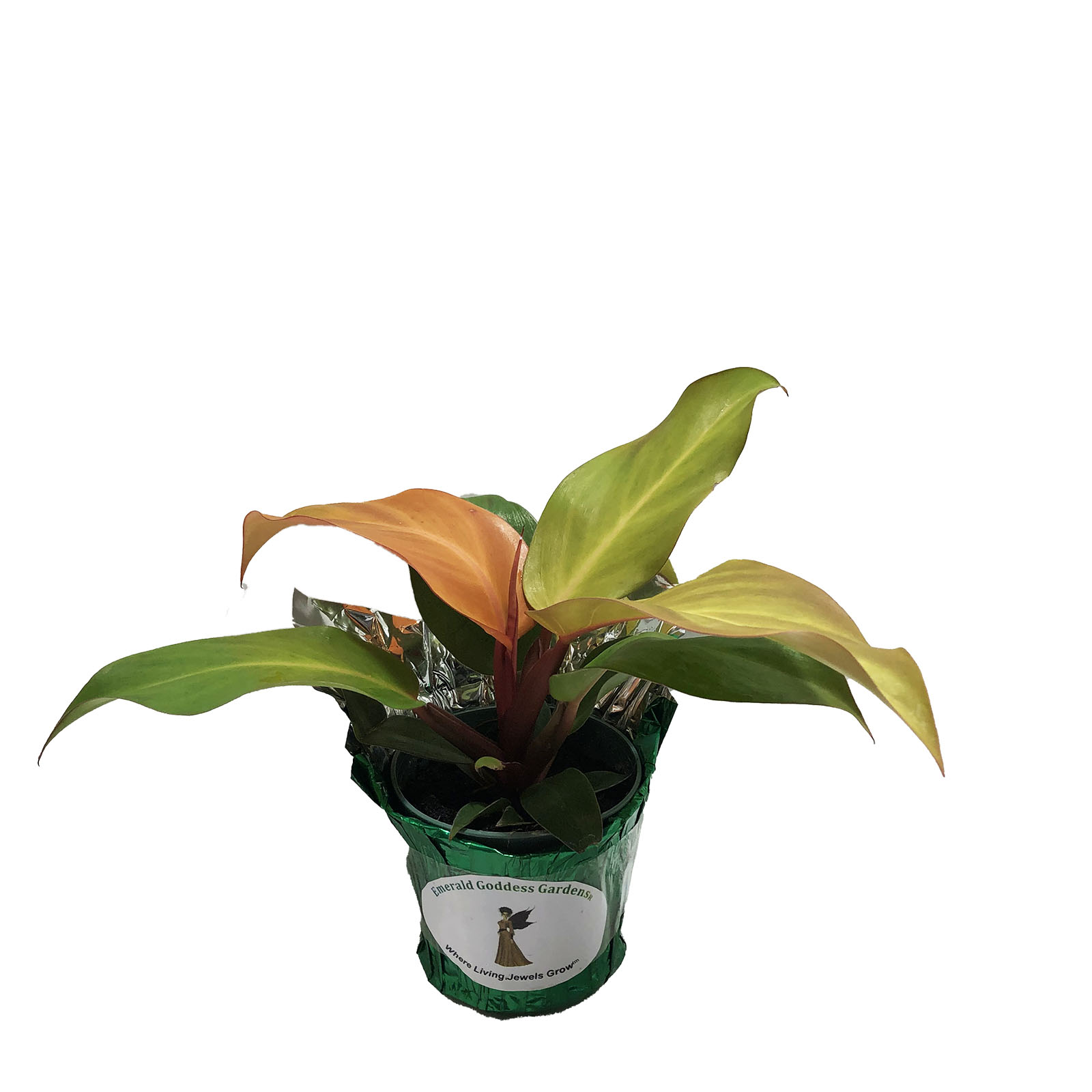Philodendron MCCOLLEYS FINALE Tropical Live Plant Starter Size Orange Peach Leaf Houseplant Indoor Outdoor Shade Garden 4 Inch Pot Emerald R - Click Image to Close