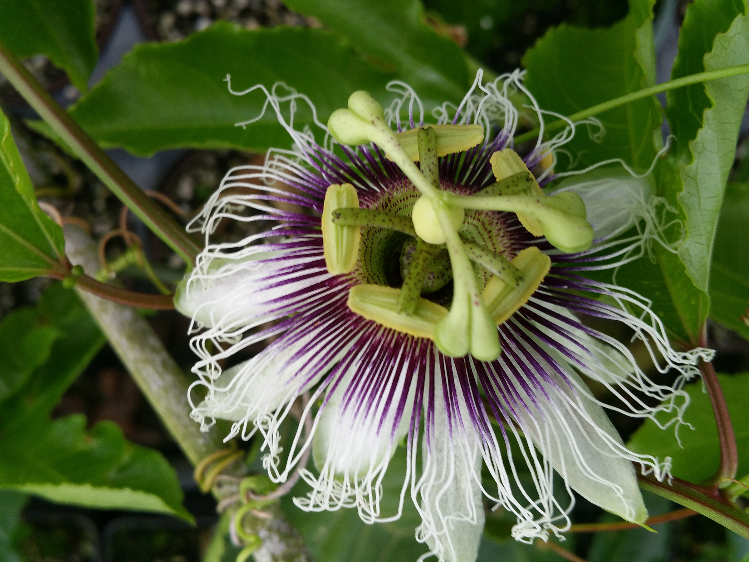 Incense Violet Purple Blue Passion Flower Vine Live Plant Passiflora