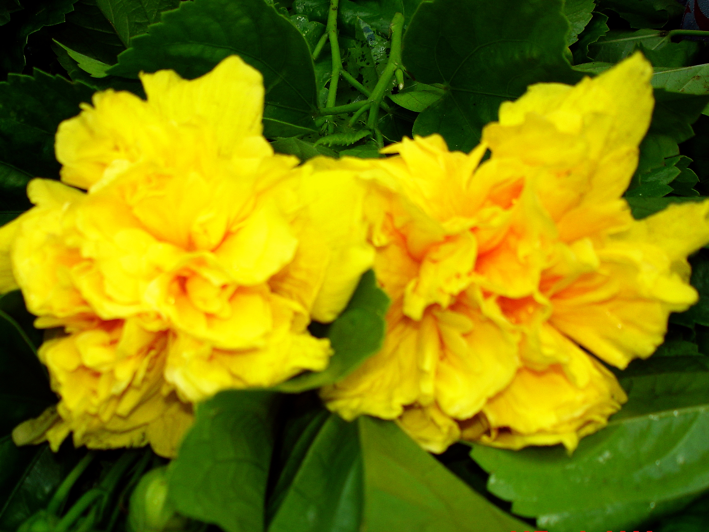 Delite Double Yellow Flower Tropical Hibiscus Live Plant Landscape