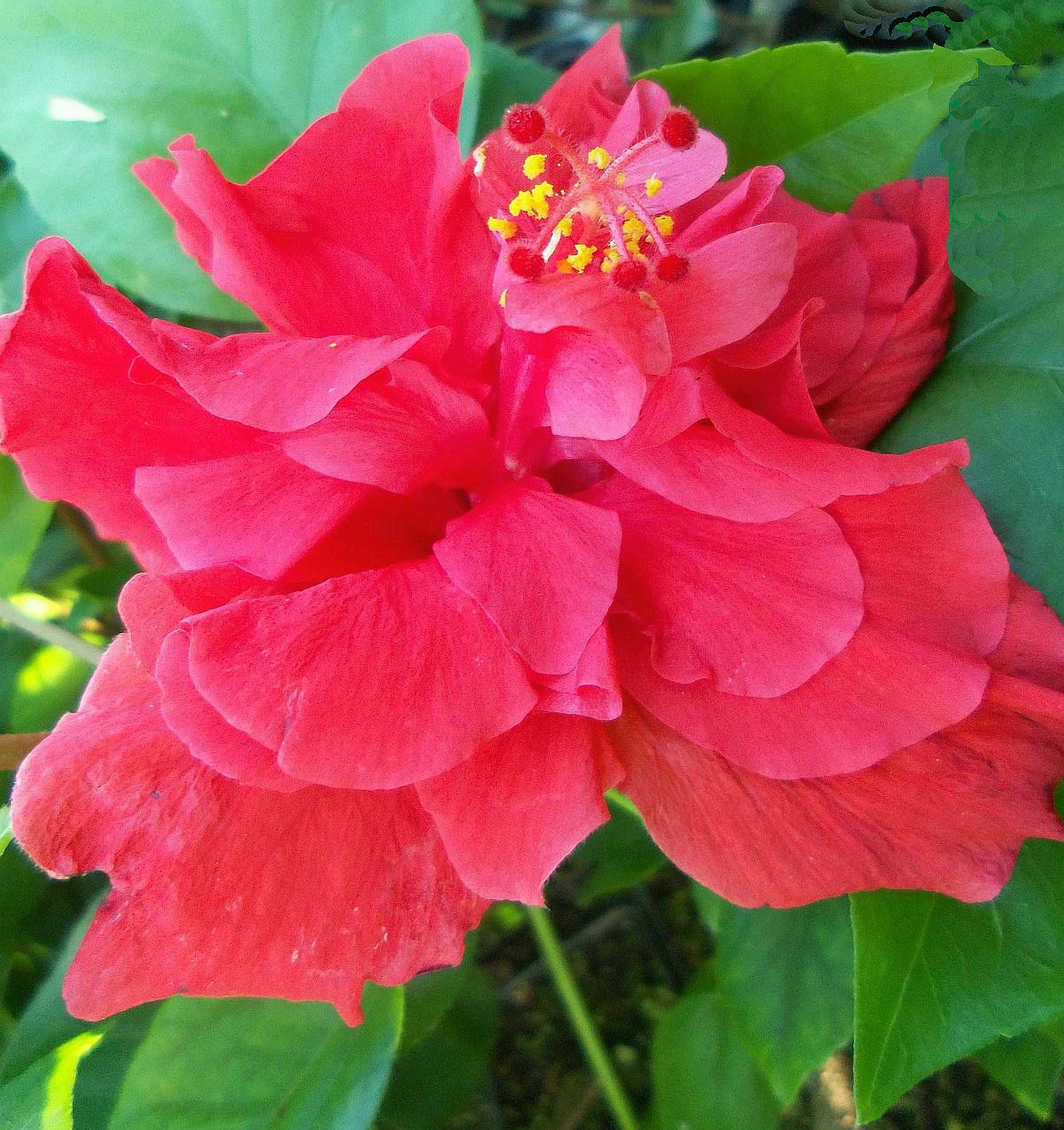 Andersons Double Red Tropical Hibiscus Bush Shrub Live Plant