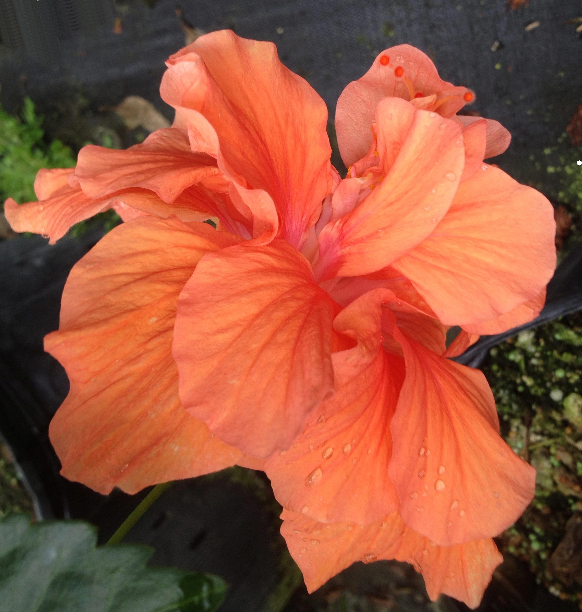 Jane Cowl Orange Peach Tropical Hibiscus Live Plant Double Flower