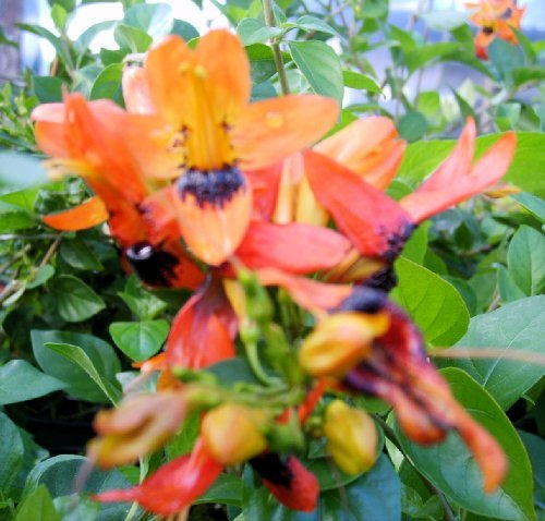 HUMMINGBIRD BUSH Unique Unusual Tropical Live Plant Orange Unusual Shaped Nectar Filled Flower Attract Hummingbirds Butterflies Emeralds TM - Click Image to Close