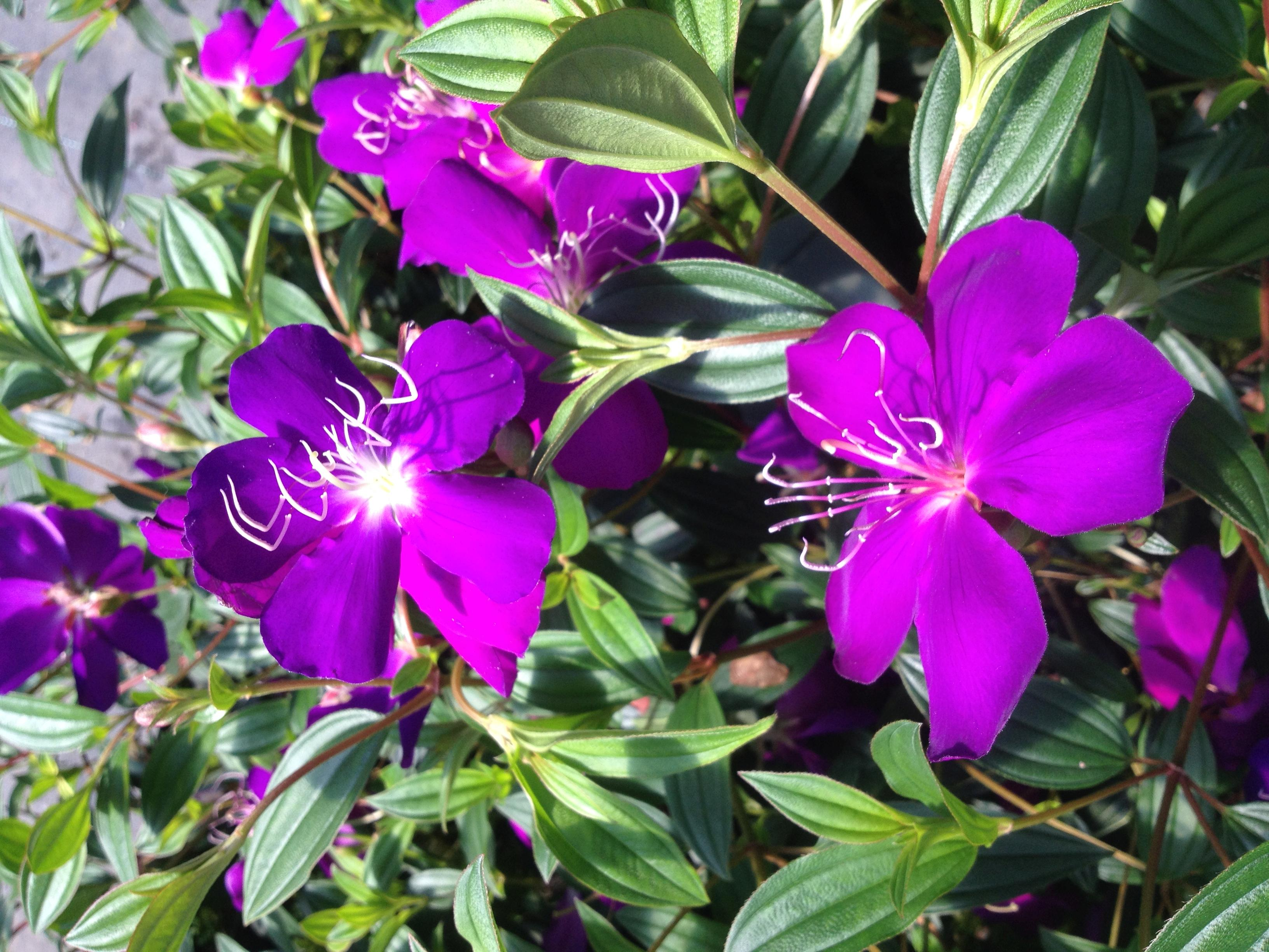 Ecuador princess tibouchina bush live tropical plant purple flower ecuador princess tibouchina bush live tropical plant purple flower starter size 4 inch pot emerald tm mightylinksfo